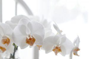 品格のある花・胡蝶蘭